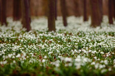 Dark forest full of snowdrop flowers in spring season - wide-angle view of nature with extremely blurred background. Snowdrop flowers in the forest. White snowdrop flowers in the nature habitat.