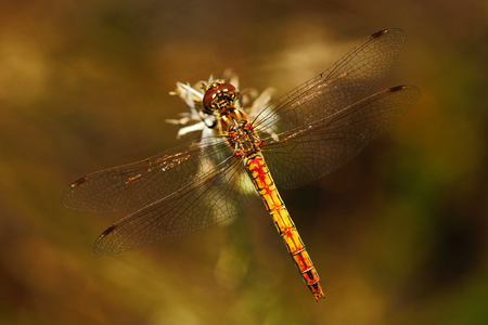 Common Darter, Sympetrum striolatum. Macro picture of dragonfly on the leave. Dragonfly in the nature. Dragonfly in the nature habitat. Stock Photo