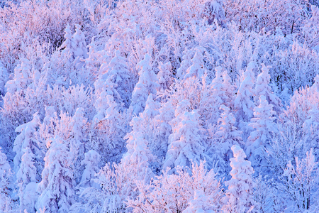 Blue winter landscape, birch tree forest with snow, ice and rime. Pink morning light before sunrise. Winter twilight, cold nature in forest. Orlicke hory, Czech republic. Mountain landscape with trees.
