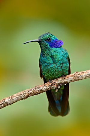 Beautiful green hummingbird with blue face. Green Violet-ear, Colibri thalassinus, Hummingbird with green leave in natural habitat, Colombia. Green bird with greennature background. Wildlife scene.