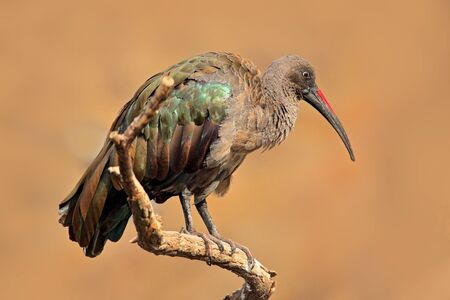 Hadada Ibis, Bostrychia hagedash, bird with long bill sitting on the branch, in the nature habitat, Morocco. Rare bird from nature.