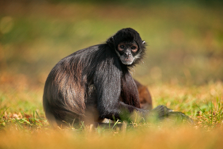 Green wildlife of Costa Rica. Black-handed Spider Monkey sitting on the tree branch in the dark tropic forest. Animal in the nature habitat, in the grass.