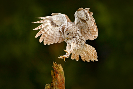 Owl fly in the green forest. Wildlife scene in nature habitat. Animal behaviour, Sweden, Europe. Bird landing. Flying Eurasian Tawny Owl, Strix aluco, with nice green blurred forest in the background.