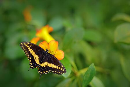 Giant Swallow Tail, Papilio thoas nealces, beautiful butterfly from Mexico. Butterfly sitting on the leaves. Butterfly from Mexico in the forest. Beautiful insect in the green nature.