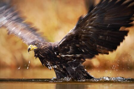 White-tailed Eagle, Haliaeetus albicilla, feeding kill fish in the water, with brown grass in background. Eagle start from the water. Eagle flight, Norway. Eagle swimming in water with open wings. Stock Photo