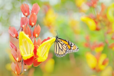 Butterfly in orange flowers. Monarch, Danaus plexippus, butterfly in nature habitat. Nice insect from Mexico. Art view of nature.
