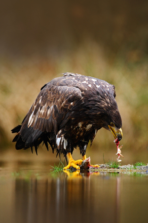 Bird with fish. White-tailed Eagle, Haliaeetus albicilla, feeding kill fish in the water, with brown grass in background, Sweden. Eagle in the water. Feeding scene with eagle and fish. Bird of prey. Stock Photo