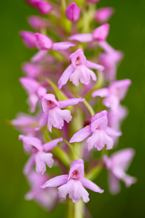 Common Fragrant Orchid, Gymnadenia conopsea, flowering European terrestrial wild orchid in nature habitat. Beautiful detail of bloom, brawn clear background, Czech. Nature spring scene from Europe.