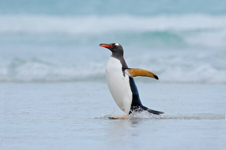 Gentoo penguin jumps out of the blue water while swimming through the ocean in Falkland Island. Stock Photo