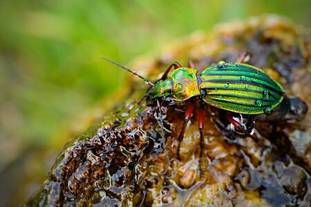 Golden ground beetle, Carabus auronitens, beautiful glossy insect on the wet stone. Water scene with shiny Golden ground beetle. Bright green insect in the nature habitat, Krkonose, Czech republic.