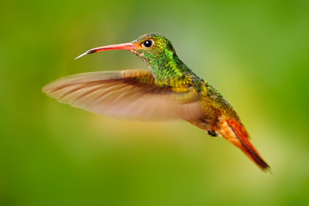 Flying bird, hummingbird Rufous-tailed Hummingbird. Hummingbird with clear green background in Ecuador. Hummingbird in the nature habitat. Bird flying next to beautiful yellow flower in tropic forest.