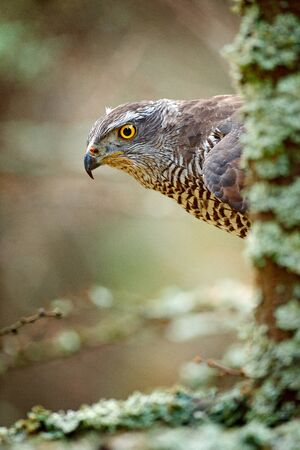 Hidden head portrait of goshawk. Detail of bird of prey Goshawk. Bird hawk sitting on the branch in the fallen larch forest during autumn. Bird goshawk hidden behind the tree trunk. Goshawk in Norway.