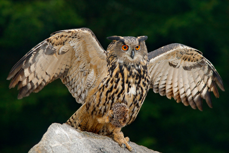 Owl with catch animal. Big Eurasian Eagle Owl with kill hedgehog in talon, sitting on stone. Wildlife scene from nature. Bird with open wing. 免版税图像