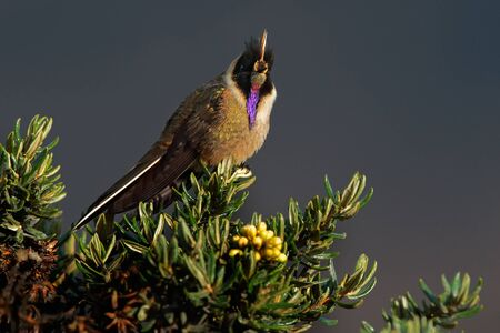Bearded Helmetcrest or Buffy Helmetcrest, Oxypogon guerinii stuebelii, beautiful crest hummingbird from Colombia. Bird from Los Nevados National Park. Animal in the nature habitat. 写真素材