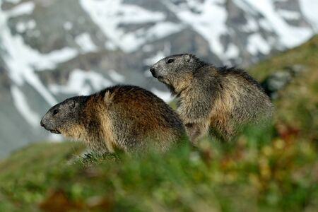 Two marmots in mountain landscape with beautiful back light. Fighting animals Marmot, Marmota marmota, in the grass with nature rock mountain habitat, Alp, France. Action wildlife scene from snow hill.