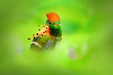 Most beautiful bird in the world. Tufted Coquette, Lophornis ornatus, colourful hummingbird with orange crest and collar in the green and violet flower habitat, Trinidad, Caribbean. Cute bird in green
