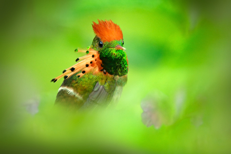 Beautiful bird. Tufted Coquette, colourful hummingbird with orange crest and collar in the green and violet flower habitat Bird in the nature habitat, Trinidad. Wildlife scene from the Caribbean. Stock Photo