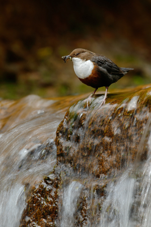 Bird with waterfall. White-throated Dipper, Cinclus cinclus, water diver, brown bird with white throat in river, waterfall in the background, animal in nature animal, with food in the bill, Germany.