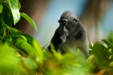 Celebes crested Macaque, Macaca nigra i nthe tree. Black monkey, detail portrait, sitting in the nature habitat.  Monkey in dark tropical forest, wildlife from Asia, Tangkoko, Sulawesi, Indonesia.