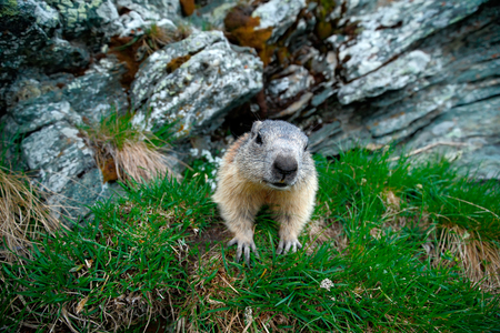 Cute animal Marmot, Marmota marmota, sitting in the green grass. Marmot in the nature rock habitat, Alp, France. Wildlife scene from the mountain. Stone with grass and beautiful marmot. Stock Photo