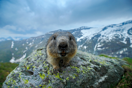 Portrait of marmot. Cute sit up on its hind legs animal Marmot, Marmota marmota, in the nature habitat, Alp, Austria. Detail face portrait with wide angle lens with mountain habitat.