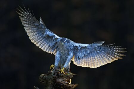 Goshawk, flying bird of prey with open wings with evening sun back light, nature forest habitat in the background, landing on tree trunk, Norway. Stock Photo