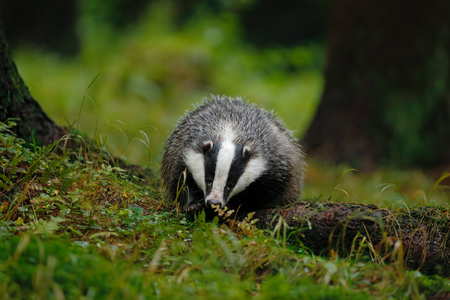 European badger in the forest. Animal in the nature habitat, Germany, central Europe. Wildlife summer scene from dark green forest. Badger in the grass.