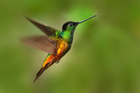 Beautiful bird in flight. Hummingbird Golden-bellied Starfrontlet, Coeligena bonapartei, flying in tropic forest, green background, Colombia. Bird in the forest flying with open wing. Wildlife scene.