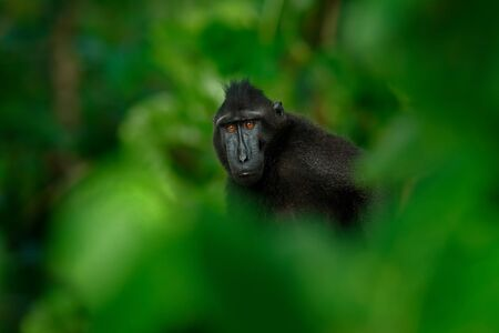 Black monkey hidden in the green vegetation, sitting in the nature habitat, dark tropical forest. Celebes crested Macaque, Macaca nigra, wildlife from Asia, Tangkoko, Sulawesi, Indonesia. Dark forest.