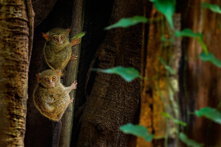 Tarsier family on the big tree. Spectral Tarsier, Tarsius spectrum, hidden portrait of rare nocturnal animal, in large ficus tree, Tangkoko National Park, Sulawesi, Indonesia, Asia. Three tarsiers.  Stock Photo