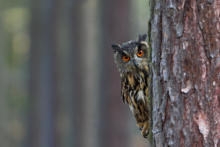 Eurasian Eagle Owl, Bubo bubo, hidden of tree trunk in the winter forest, portrait with big orange eyes, bird in the nature habitat, Norway. Stock Photo