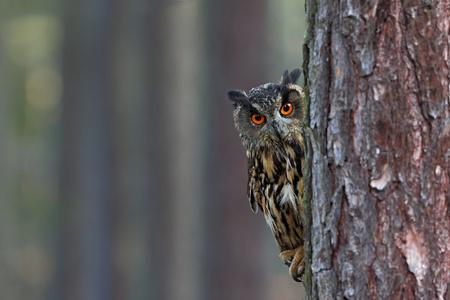 Eurasier Eagle Owl, Bubo Bubo, versteckt vom Baumstamm im Winterwald, Porträt mit großen orange Augen, Vogel im Naturlebensraum, Norwegen. Standard-Bild