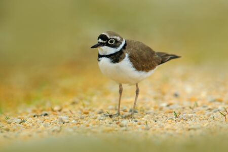 Little-ringed Plover, Charadrius dubius, in the nature habitat. Water bird on the sand beach. Bird in the little stones. Plover from the France coast. Small bird.