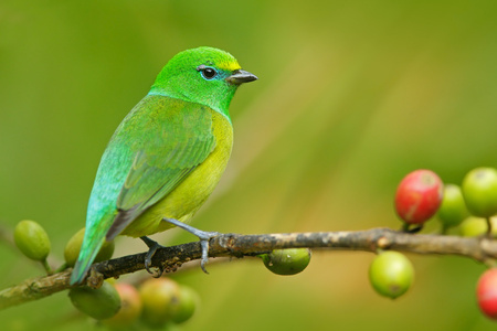 Blue-naped Chlorophonia, Chlorophonia cyanea, exotic tropic green song bird form Colombia. Stock Photo