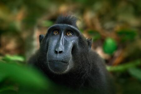 Celebes crested Macaque, Macaca nigra, black monkey, detail portrait, sitting in the nature habitat, dark tropical forest, wildlife from Asia, Tangkoko, Sulawesi, Indonesia.