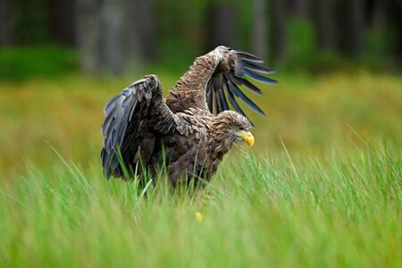 White-tailed Eagle, Haliaeetus albicilla, landing in the green marsh grass, with open wingspan, forest in the background.