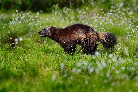 Wolverine in cotton grass in Finland Nature. Running tenacious Wolverine in Finland tajga. Wildlife scene from north of Europe. Dangerous animal in the nature.