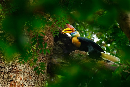 Rare exotic Knobbed Hornbill, Rhyticeros cassidix, from Sulawesi, Indonesia. Bird in the nest, sitting on the branch in the green tropic forest. Beautiful jungle hornbill, wildlife scene from nature. Stock Photo