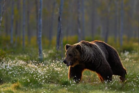 Beautiful brown bear walking around lake in the morning sun. Dangerous animal in nature forest and meadow habitat. Wildlife scene from Finland near Russia bolder. Morning light with big brown bear. Stock Photo