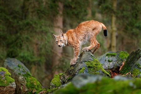 Lince, gato salvaje eurasiático caminando sobre piedra verde musgo con bosque verde en el fondo. Hermoso animal en el hábitat natural, Alemania. Lynx escalando en la roca. Escena de caza de vida silvestre, Europa central. Foto de archivo