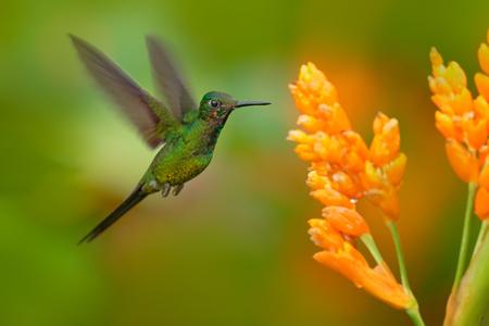 Empress brilliant hummingbird in flight. Green hummingbird with yellow flower. Beautiful hummingbird from Colombia. Hummingbird in the nature tropic forest. Hummingbird flying next nice yellow bloom.