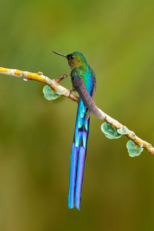 Bird with long tail. Beautiful blue glossy hummingbird with long tail. Long-tailed Sylph, hummingbird with long blue tail in the nature habitat, Colombia. Wildlife scene from tropic nature.