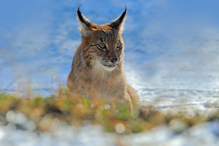 Eurasian Lynx, portrait of on snow in winter.
