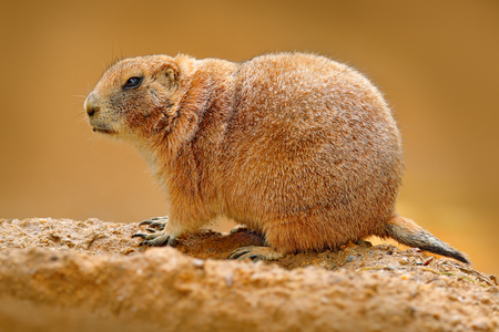 Black-tailed prairie dog, Cynomys ludovicianus, cute animal from rodent of family Sciuridae found in Great Plains, North America. Prairie dog sitting, sad habitat. Funny image from nature, wildlife.