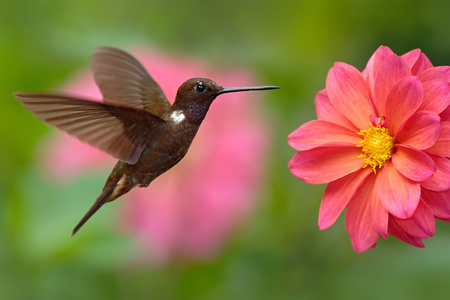 Hummingbird Brown Inca, Coeligena wilsoni, flying next to beautiful pink flower, pink bloom in background, Colombia. Фото со стока