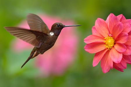 Hummingbird Brown Inca, Coeligena wilsoni, flying next to beautiful pink flower, pink bloom in background, Colombia. Standard-Bild