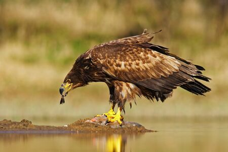 White-tailed Eagle, Haliaeetus albicilla, feeding kill fish in the water, with brown grass in background.