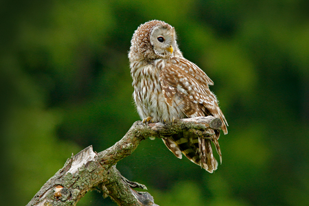 Owl in nature. Ural Owl, Strix uralensis, sitting on tree branch, at green leaves oak forest, Norway. Wildlife scene from nature. Habitat with wild bird. Young Ural owl in green wood. Stock Photo