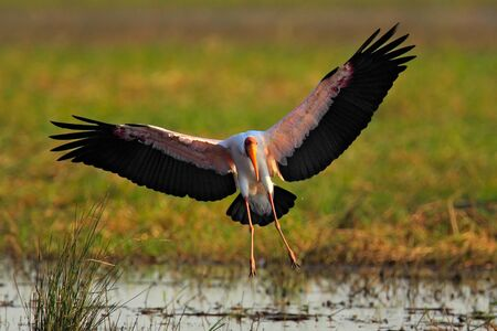 Flying stork above the river. Strok in the nature march habitat. Bird in the water. Stork from Tanzania. Yellow-billed Stork, Mycteria ibis, in fly above lake Tanzania. River with bird in Africa. Stock Photo
