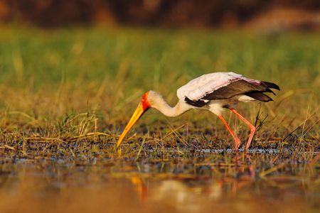 Strok in the nature march habitat. Stork in Africa. Bird in the water. Stork from Uganda. Yellow-billed Stork, Mycteria ibis, sitting on the branch, Tanzania. River with bird in Africa. Feeding scene. Stock Photo